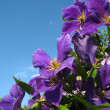 Clematis — Stock Photo #1471714