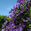 Clematis — Stock Photo #1471738