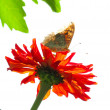 Butterfly on a flower — 图库照片