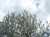 Spring flowering of fruit tree — Stok fotoğraf