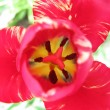 Heart of pink tulip — Stock Photo #2321727