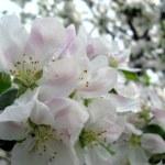 Spring flowering of fruit trees — Stock Photo