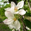 Spring flowering of fruit tree — Stock Photo