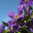 Clematis — Stock Photo #2324415