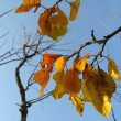 Autumn leaves on tree — Stock Photo #2324478