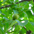 Walnut-tree — Stock Photo