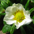 Flower of strawberry — Stockfoto