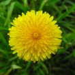 Flower of dandelion — Stock Photo