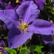 Clematis — Stock Photo #2325136