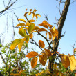 Stock Photo: Autumn leaves on tree