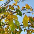 Autumn leaves on tree — Stock Photo