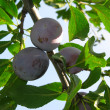 Growing plums - Stock Photo