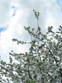 Spring flowering of fruit tree — Stock Photo