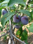 Growing plums — Stock Photo