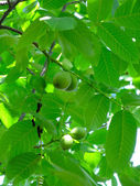 Walnut-tree — Stock fotografie