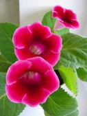 Pink Gloxinia — Stock Photo