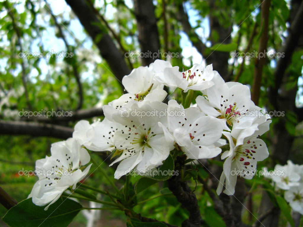 Spring flowering of fruit trees close-up — Stock Photo #2324495