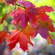 Red maple leaves on branch — Stock Photo