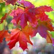 Red maple leaves on branch — Stock Photo #1461405