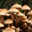 Honey agarics on a stump — Stock Photo