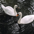 Pair white swans on  water — Stock Photo