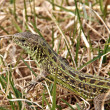 Spotted lizard in the grass - Stock Photo