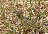 Spotted lizard in the grass — Stock Photo