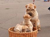 Family Sharpey. — Stock Photo