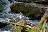 Black-gull on a rock — Stock Photo