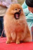 Dwarf Spitz. — Stock Photo