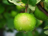 Green apple on a branch after the rain — Stock Photo