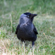 Little Rook — Stock Photo #1469351