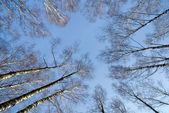 Cielo attraverso betulle — Foto Stock