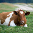 Stock Photo: Cow lies on grass