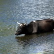 Bull in a pond — Stock Photo