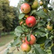 Stock Photo: Branch with ripe apples