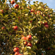 The branch with red apples — Stock Photo #1472870