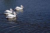 Three pelicans — Stock Photo