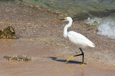Walking Egret — Stock Photo