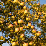 Abundant harvest of apples — Stock Photo #1614047