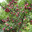 Apple-tree — Stock Photo #1832013