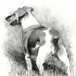 ������, ������: Pencil Drawing of Jack Russell Terrier