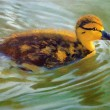 Painting of Duckling Swimming — Stock Photo