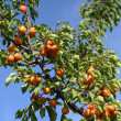 Tasty apricot on tree - Stock Photo