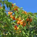 Fresh ripe apricots — Stock Photo #1585622