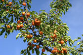 Smakelijke abrikoos op boom — Stockfoto