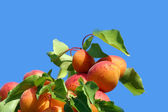 Tasty apricot tree — Stock Photo
