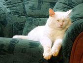 Biały kot śpi — Zdjęcie stockowe