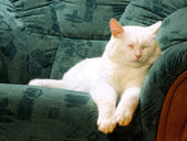 Chat blanc couchage — Photo