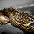 Royalty-Free Stock Photo: Duck
